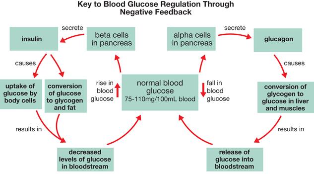 Blood Glucose Regulation Diagram